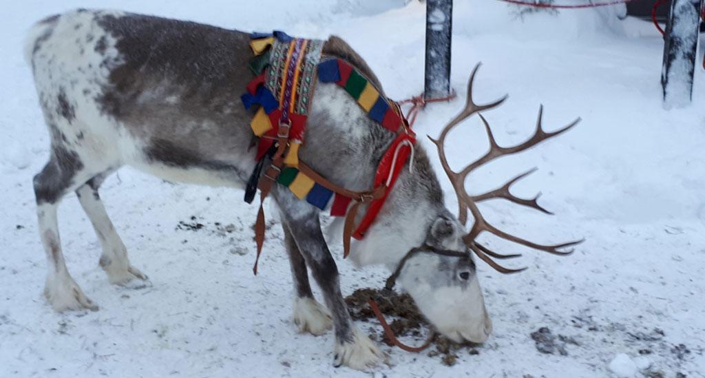 In Fins Lapland zijn meer rendieren dan mensen