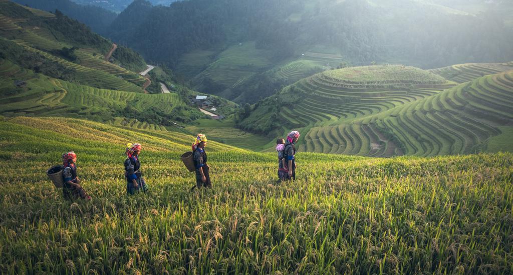 De groene rijstvelden